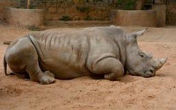 Rhinoceros. A rhinoceros is lying on the ground royalty free stock photography