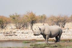 Rhinoceros. In Namibia`s Etosha National Park stock image