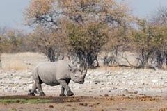 Rhinoceros. In Namibia`s Etosha National Park stock photo