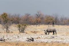 Rhinoceros. In Namibia`s Etosha National Park stock images