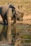 Rhinoceros. A roaming rhinoceros reaches a waterhole stock photo