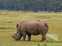Rhinoceros in the savannah, Kenya. National Park. Africa. An excellent illustration Stock Image