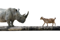 Rhinoceros and sheep walking over the single wooden bridge Royalty Free Stock Photo