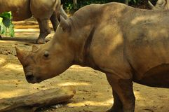 Rhinoceros in Singapore Zoo royalty free stock image