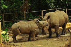 Rhinoceros in Singapore Zoo stock photography