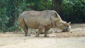 Rhinoceros in Singapore Zoo royalty free stock photo