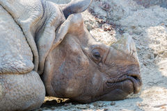 Rhinoceros sleeping on dirty ground in forest. Stock Photography