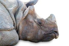 Rhinoceros sleeping isolated on white background Stock Image