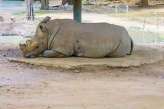 Rhinoceros sleeping Royalty Free Stock Photos