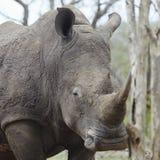 Rhinoceros with sleepy eye Royalty Free Stock Images