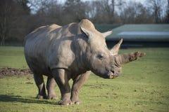 Rhinoceros. Southern White Rhinoceros in Zoo. (Ceratotherium simum simum Stock Image