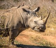 Portrait of a rhino in the grass lands of a national park in south africa. A rhinoceros is standing in the grass lands of a national park in south africa. The royalty free stock photos