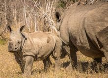 Portrait of a rhino in the grass lands of a national park in south africa. A rhinoceros is standing in the grass lands of a national park in south africa. The stock image