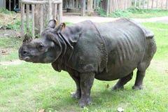 Rhinoceros standing on green grass Royalty Free Stock Photo