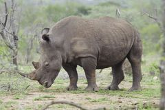 Rhinoceros stands in African plains Royalty Free Stock Photos