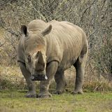 A Rhinoceros stands on the grass at a game park. A Rhinoceros stands cautiously in the field at the game park during the day Royalty Free Stock Image