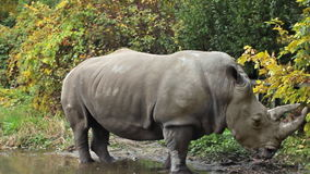 Rhinoceros Stands In Puddle stock video footage