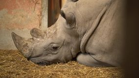 Rhinoceros on straw. A close up of a rhinoceros lying on straw in the Budapest Zoo stock video
