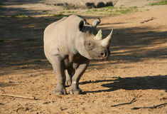 Rhinoceros in sun in wild Royalty Free Stock Images