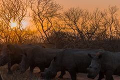 Rhinoceros at sunset on a safari in South Africa stock photo