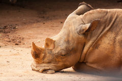 Rhinoceros taking a nap on the field Stock Images