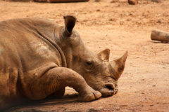 Rhinoceros taking a nap on the field. Rhinoceros  taking a nap while finish it's meal Royalty Free Stock Image