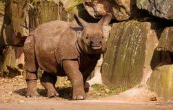 Rhinoceros, Terrestrial Animal, Mammal, Fauna Stock Photography