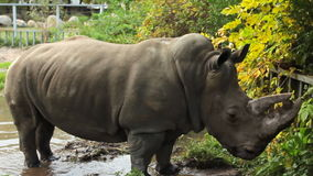 Rhinoceros Tramples Puddle stock footage