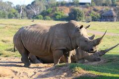 Rhinoceros. Two Rhinoceros by each other side Stock Photography