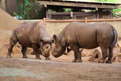 Rhinoceroses Royalty Free Stock Image