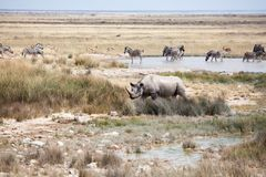 Rhinoceros with two tusks and herd of zebras and impala antelopes in Etosha National Park, Namibia drink water from the lake stock image