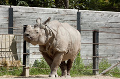 Rhinoceros unicornis Stock Images