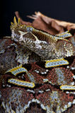 Rhinoceros viper Stock Images