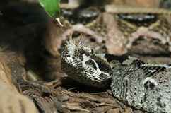 Rhinoceros viper4 Stock Images