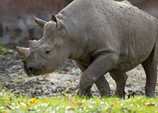 Rhinoceros walking Royalty Free Stock Image