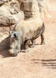 Rhinoceros Stock Images