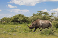 Rhinoceros walks, eating and grazing on a sunny day in the bushe. S of the park Etosha. Namibia, South Africa Royalty Free Stock Photos