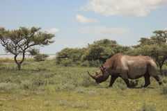 Rhinoceros walks, eating and grazing on a sunny day in the bushe. S of the park Etosha. Namibia, South Africa Stock Photos