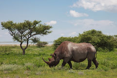 Rhinoceros walks, eating and grazing on a sunny day in the bushe. S of the park Etosha. Namibia, South Africa Royalty Free Stock Photo