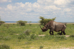 Rhinoceros walks, eating and grazing on a sunny day in the bushe. S of the park Etosha. Namibia, South Africa Stock Images