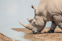 Rhinoceros  at Water Royalty Free Stock Photography