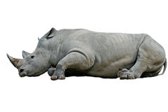 Rhinoceros on white background. Stock Image