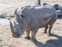 Rhinoceros Royalty Free Stock Photos