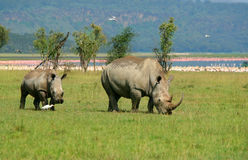 Rhinoceros in the wild. Africa. Kenya. Lake Nakuru royalty free stock photos