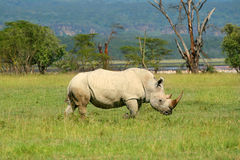 Rhinoceros in the wild. Africa. Kenya. Lake Nakuru stock images