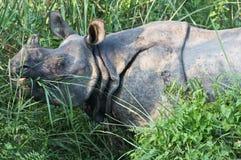 Rhinoceros in the wild Stock Photography