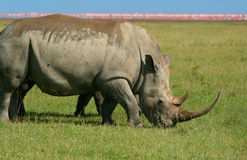 Rhinoceros in the wild Royalty Free Stock Images
