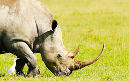 Rhinoceros in the wild Stock Images