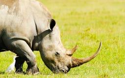 Rhinoceros in the wild Stock Images