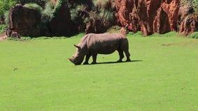 Rhinoceros in the wild stock video footage